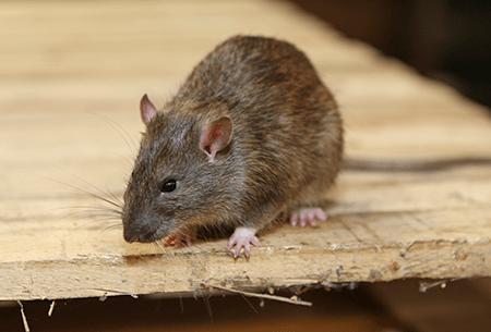 norway rat up close