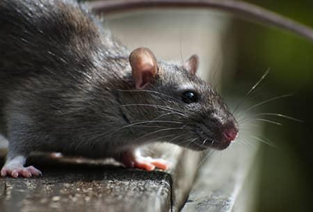 rodent seeking for shelter in tulsa