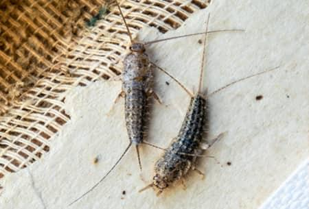 two silverfish crawling around on an open books pages on a tulsa oklahoma property