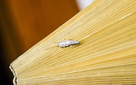 a silvrfish crawling on a books pages