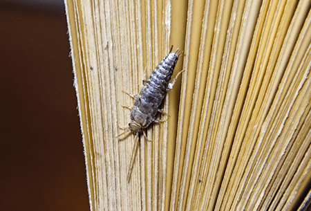 silverfish crawling on book