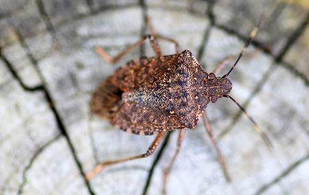 a stink bug on wood