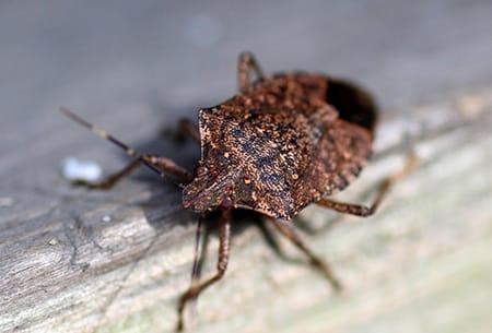 a stink bug crawling along the edge of a tulsa oklahome kitchen table top