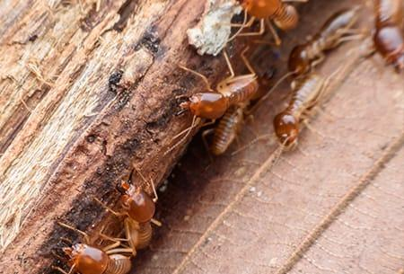 a large colony of swarming termites infesting a tulsa oklahoma home this fall
