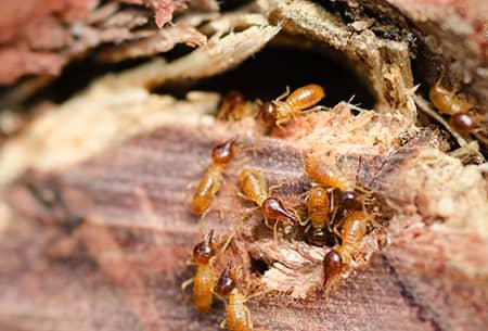 termites eating wood near tulsa home