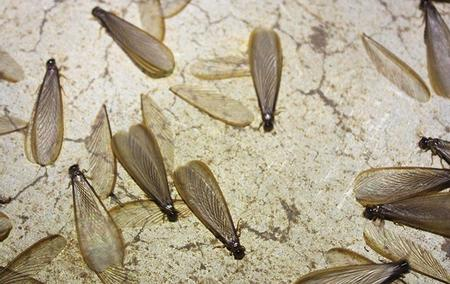 termite swarmers crawling on a ground