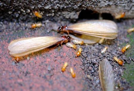 termites in tulsa home