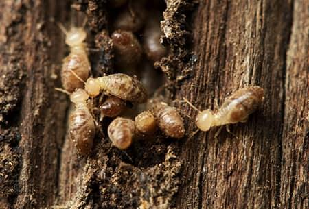 a large colony of swarming termites that have chewed their way through a massive wooden structure on a tulsa oklahoma property