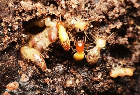 termites in the dirt