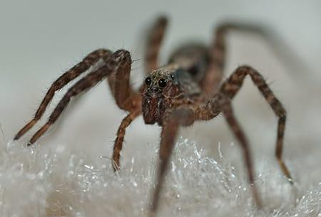 a wolf spider infesting a tulsa oklahoma home