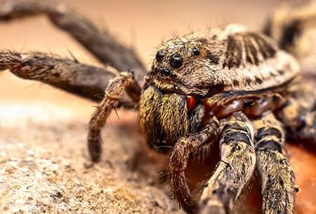a close up image of a hair wolf spider prowling along a tulsa property