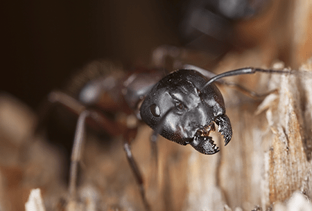 carpenter ant in water damaged wood