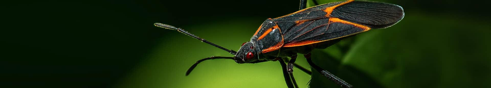 boxelder bug up close