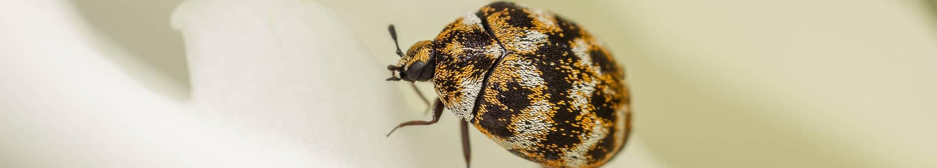 carpet beetle up close