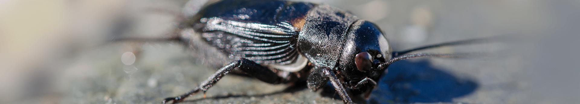 cricket on rock