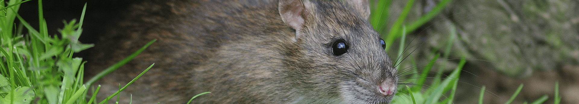rat outside oklahoma home in the grass
