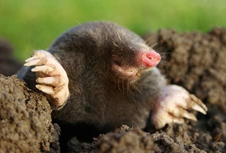 mole coming out of a hole in tulsa