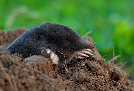 mole digging hole in lawn