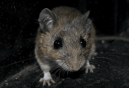 mouse in dark corner of home