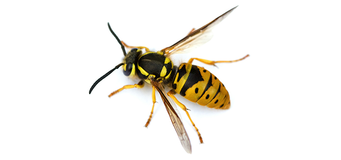 yellow jacket on a white background