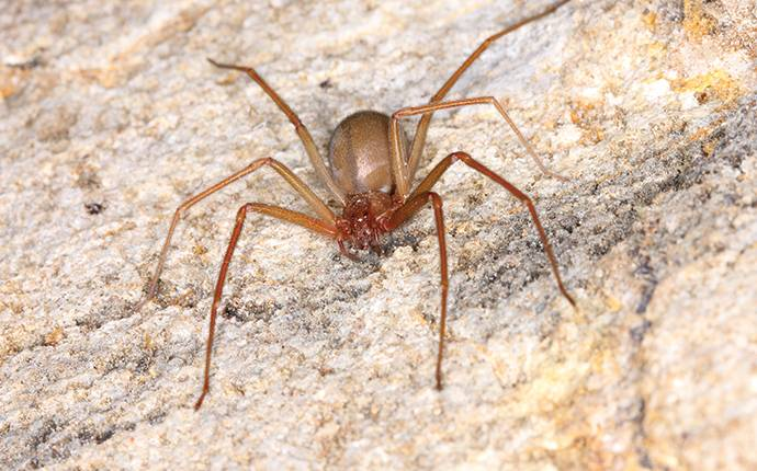 a brown recluse spider crawling on a rock