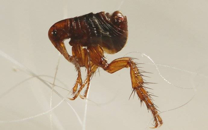 flea jumping on pet hair