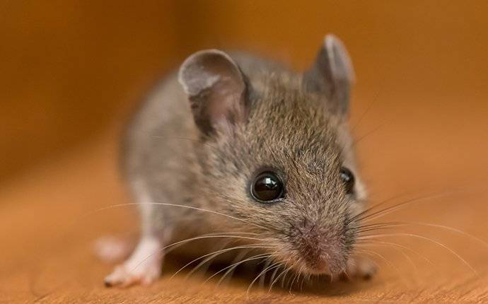 house mouse in cupboard