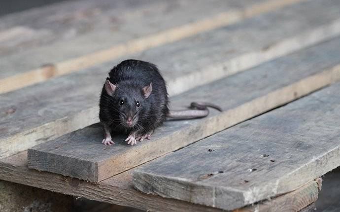 a rat on a table