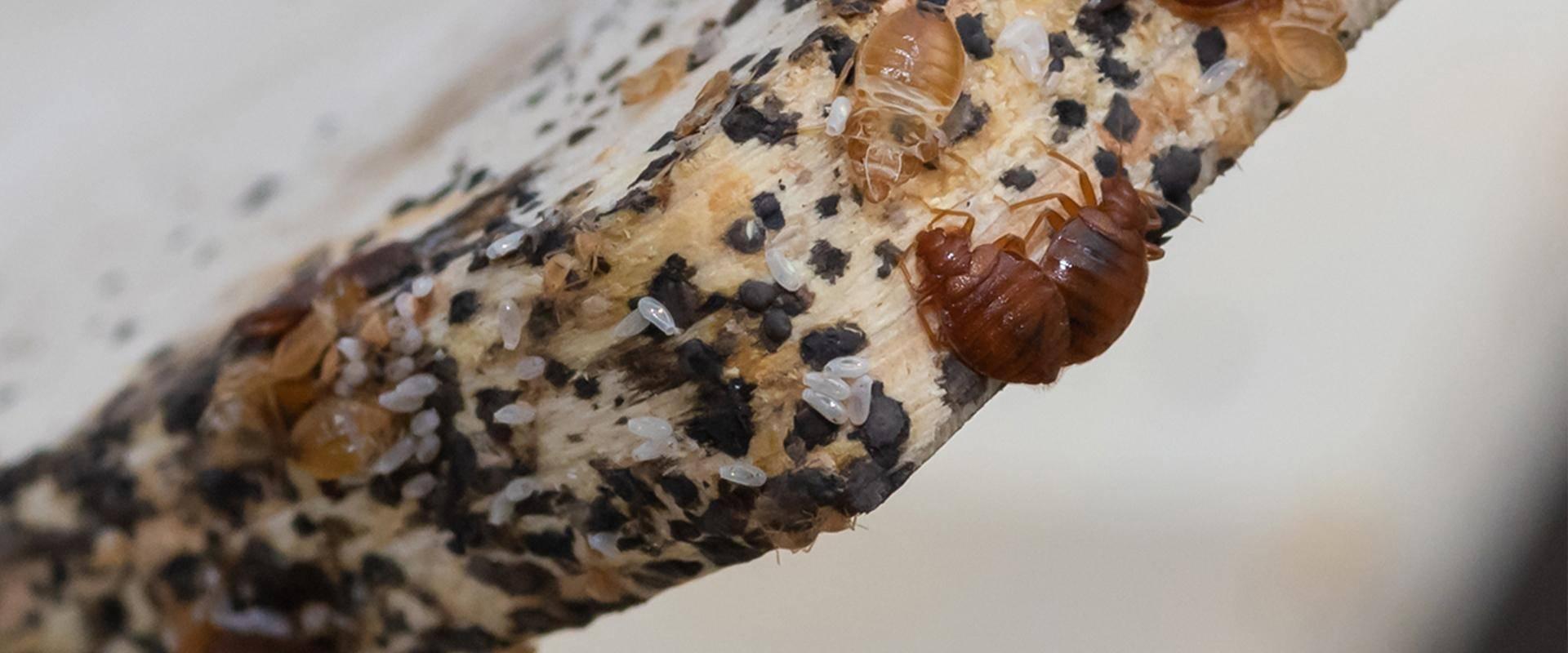 bedbugs on wood