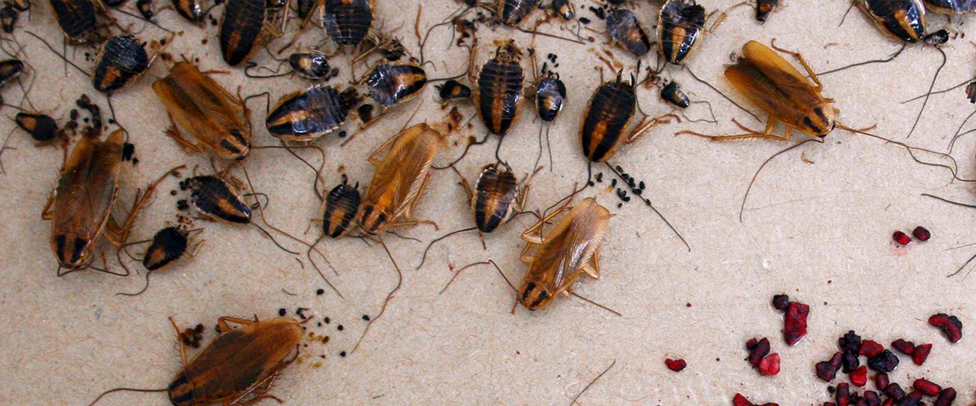 cockroaches on glue board