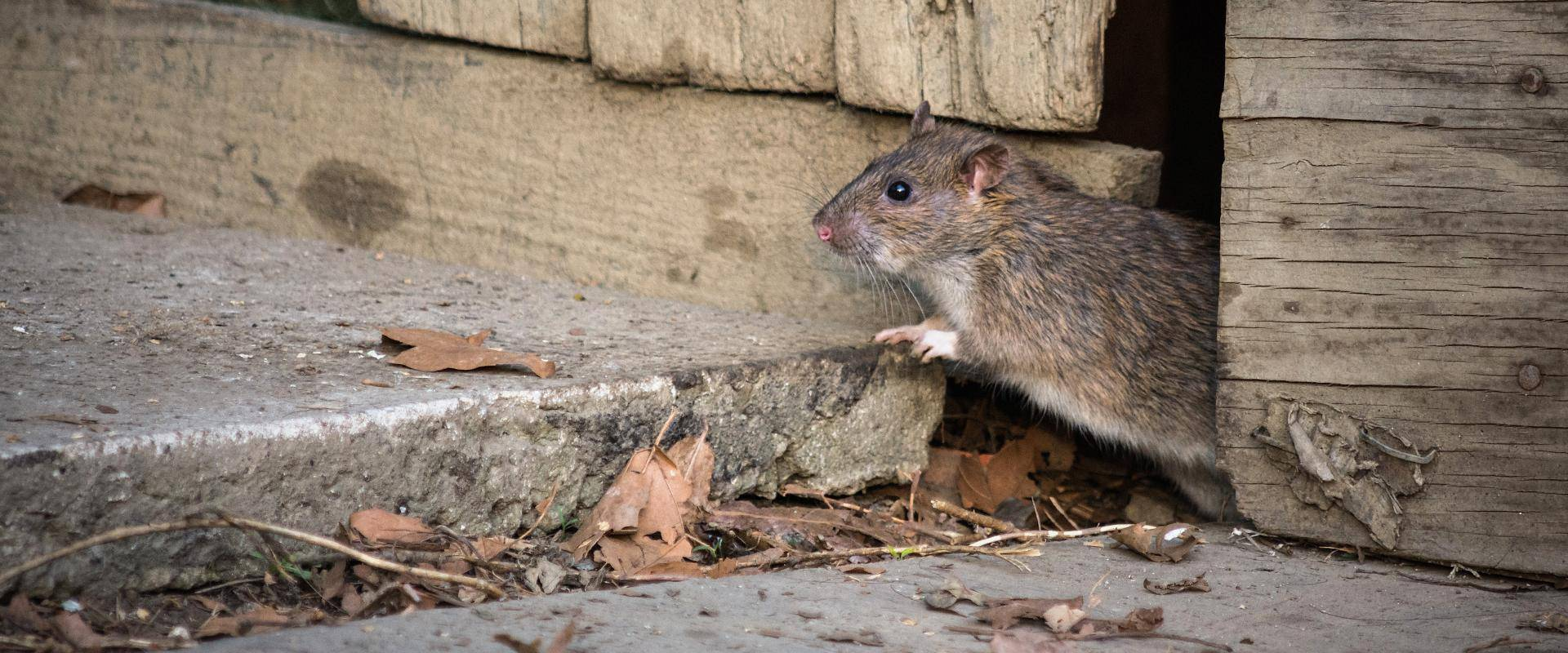 rat coming out of a hole