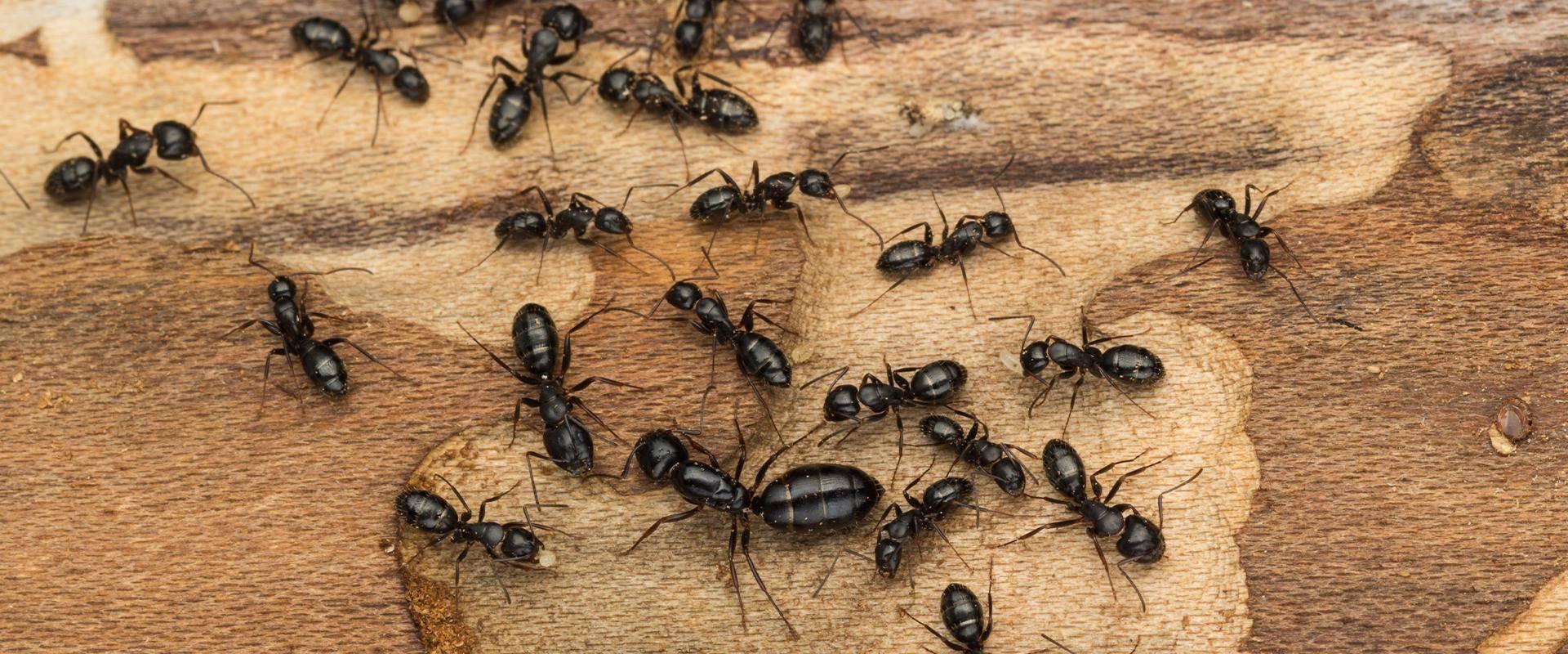 ants on wood