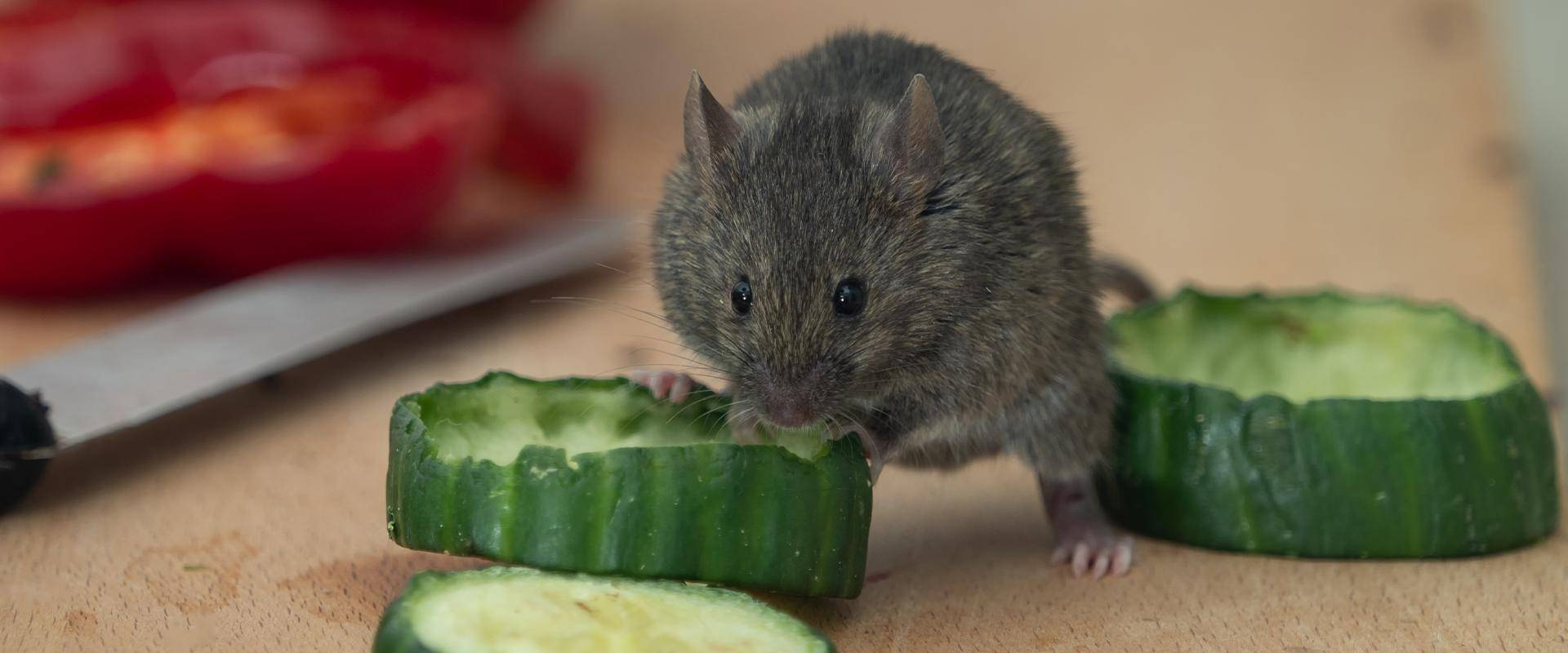 mouse eating cucumbers