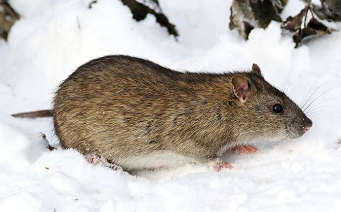 a rat in the snow