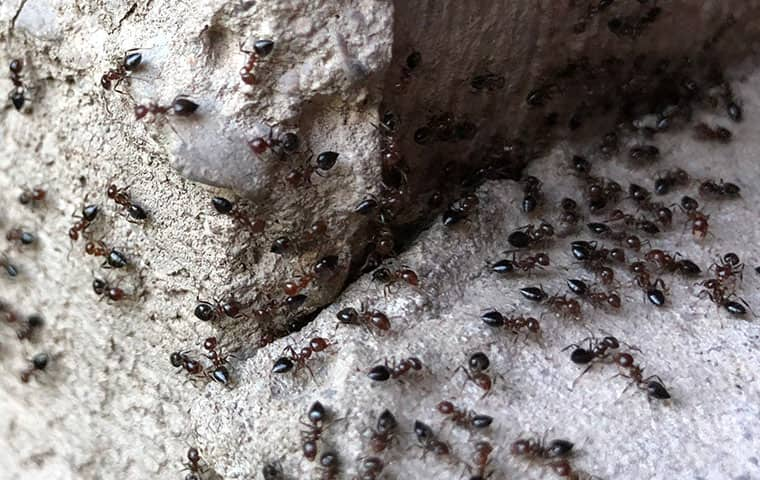 a swarm of ants invading a raleigh north carolina home