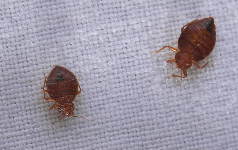 two bed bugs on a mattress in a dorham north carolina home