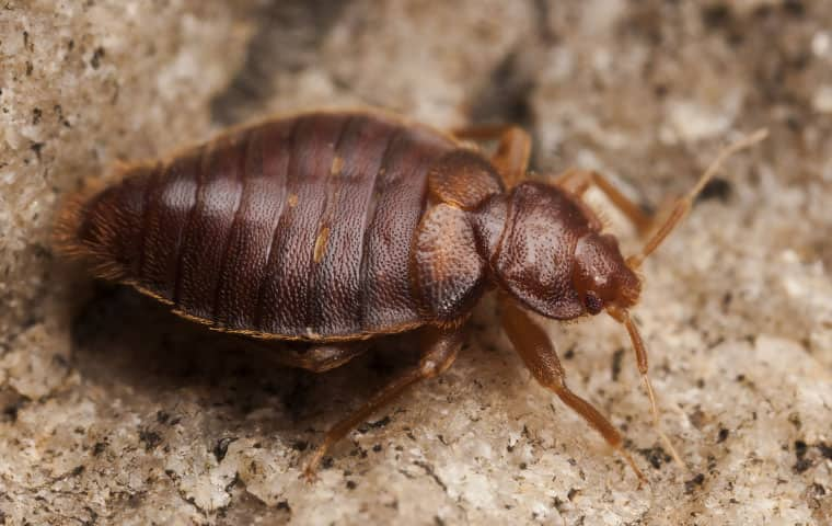 a bed bug crawling on the ground in durham north carolina