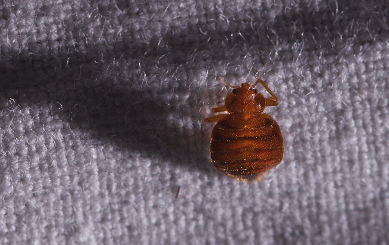 a bed bug on a wool sweater in edenton north carolina