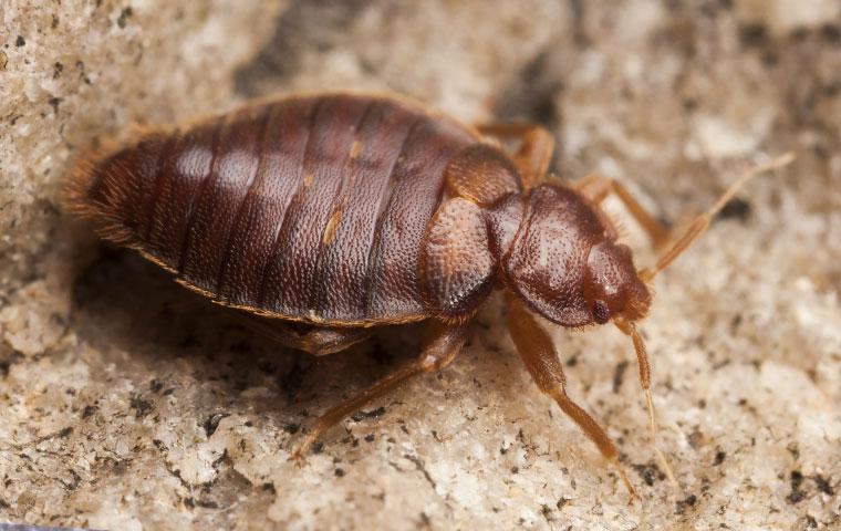 a bed bug inside a home in durham north carolina