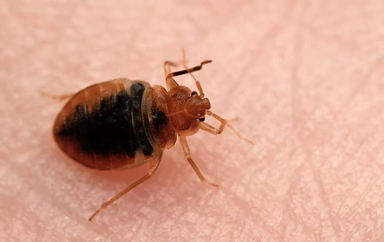 a bed bug crawling on a person in raleigh north carolina