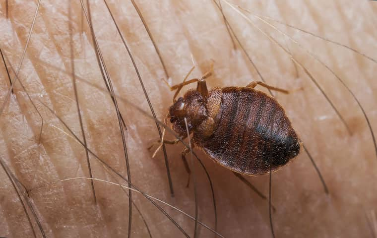 a bed bug up close on human skin in raleigh north carolina