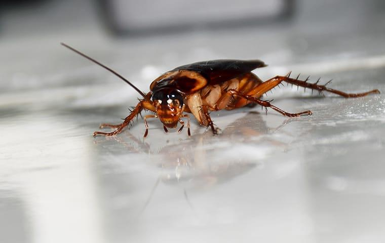 an american cockroach crawling along a raleigh north carolina tiled floor