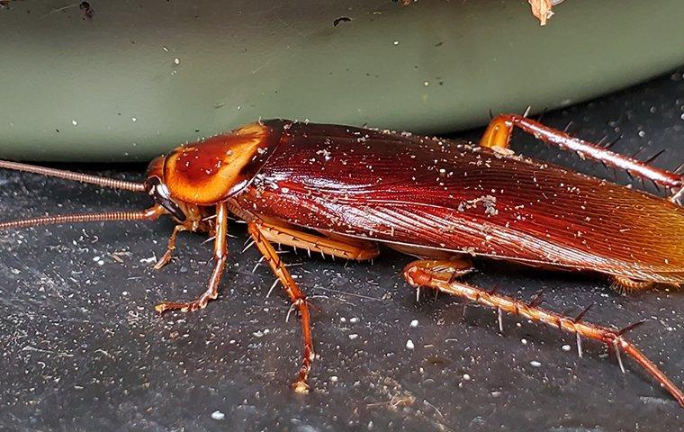 american cockroach near a dirty dish
