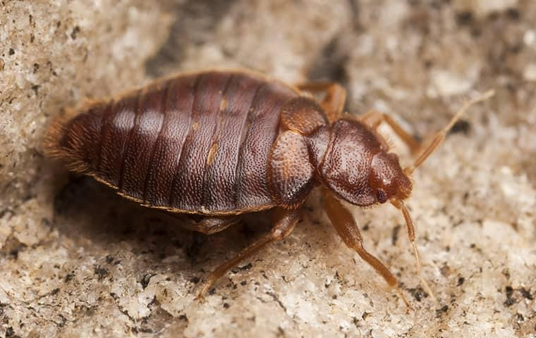 a bed bug on the ground