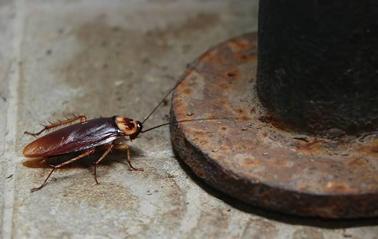 an oriential cockroach climbing up a support beam in a raleigh north carolina basement