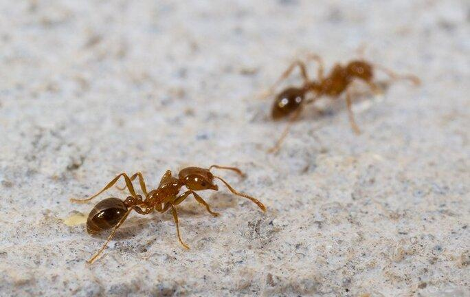 fire ants on a patio in raleigh