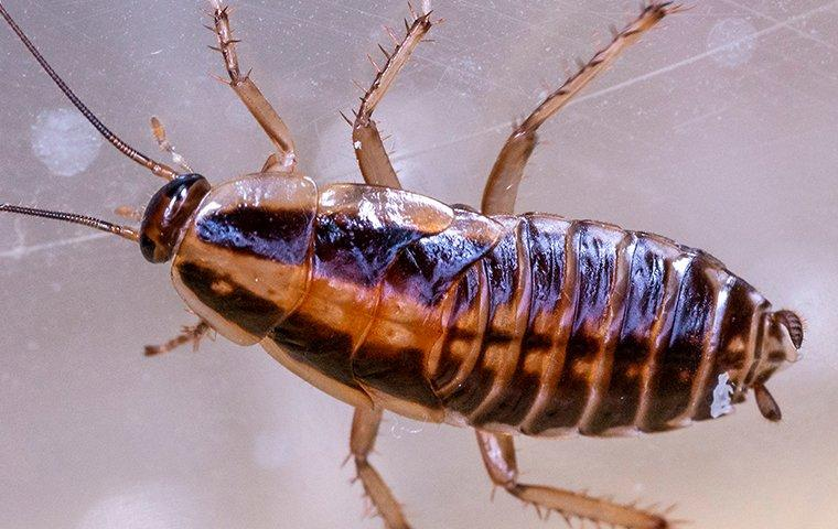 a german cockroach crawling up glass