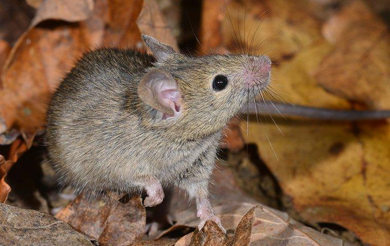 a house mouse crawling in leaves outside