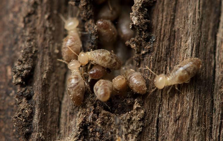 termite infested wood inside a durham north carolina home