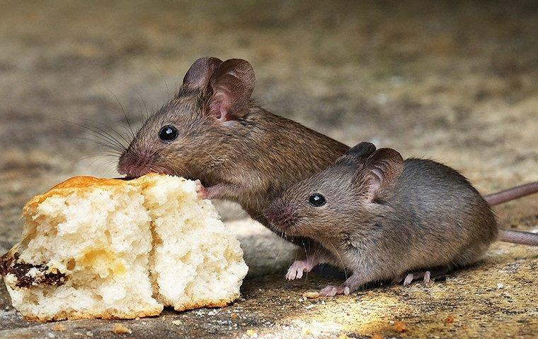 mice eating food in a kitchen